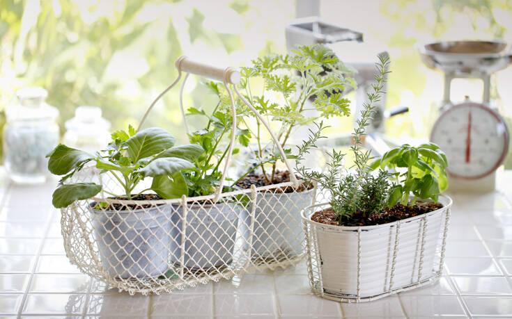 Δύο φυτά που απομακρύνουν τα κουνούπια